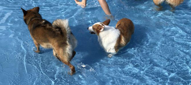 ワンコをプールに連れて行きました
