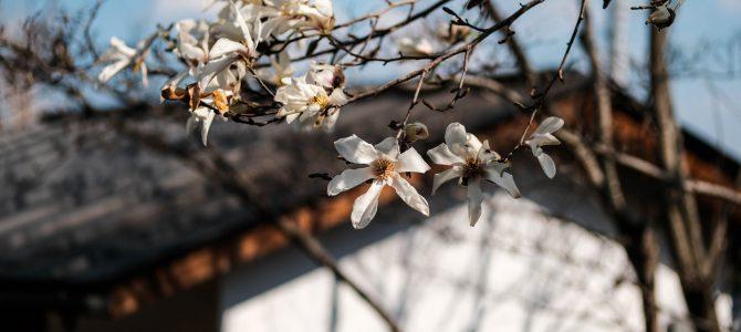 コブシの花、咲きました